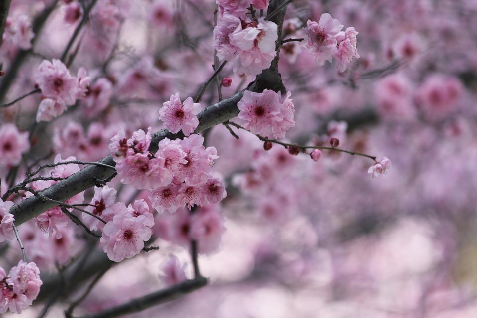 Jeju Cherry Blossom Festival, Seogwipo