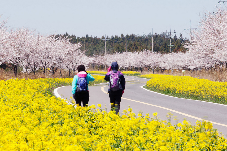 Jeju spring flower journeys cherry blossom in korea 2018 forecast korea cherry blossom 2018 forecast