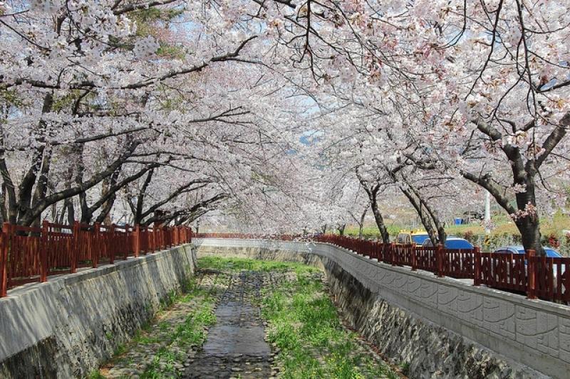 Jinhae Gunhangje Cherry Blossom Festival, Jinhae