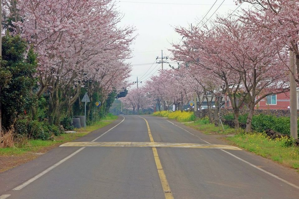 Sakura trees lined road at Jeju City