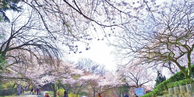 Seomjingang Riverside Cherry Flower Festival cherry blossom in korea 2018 forecast korea cherry blossom 2018 forecast