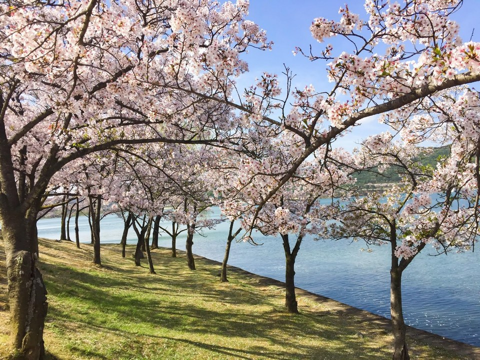 Spring Scenery of Gyeongju_Bomun Lakeside Stage