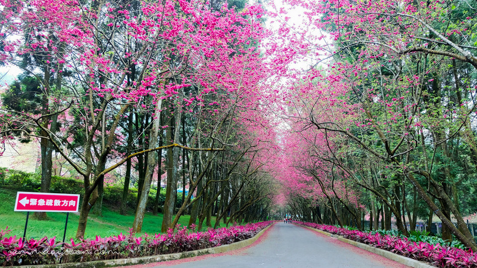 Sun Moon Lake cherry blossom in taiwan 2018 forecast taiwan cherry blossom blog