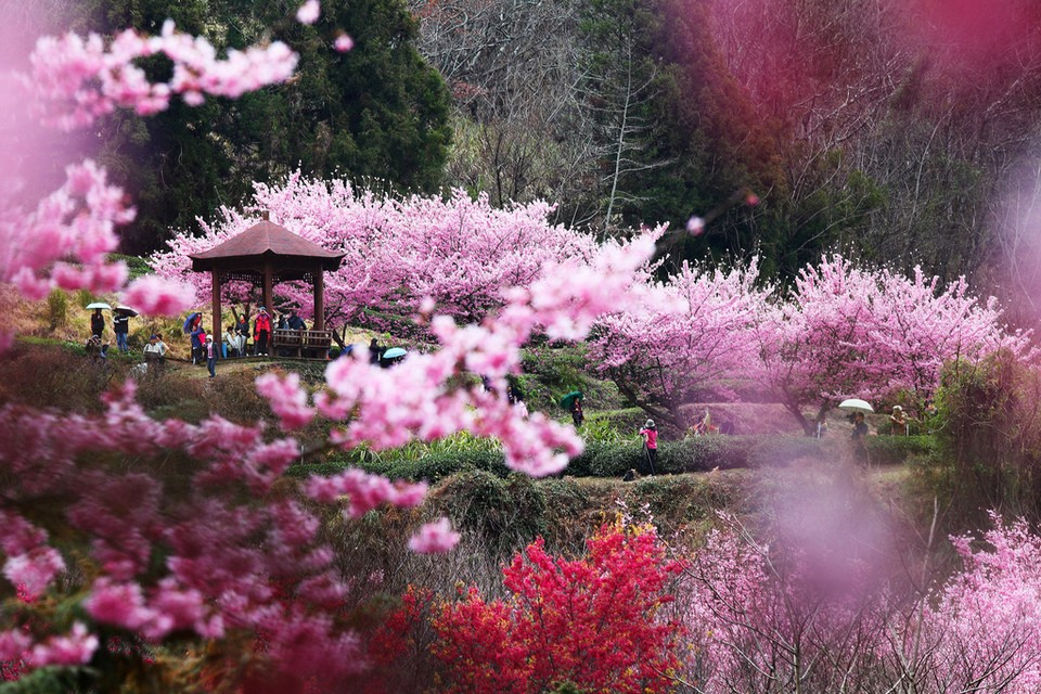 Taiwan Wuling Farm cherry blossom in taiwan 2018 forecast taiwan cherry blossom blog