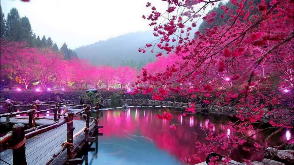 Taiwan's Dazzling Cherry Blossom Trees