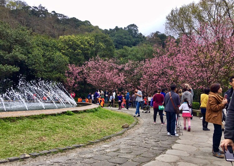 Yangmingshan Cherry Blossoms cherry blossom in taiwan 2018 forecast taiwan cherry blossom blog