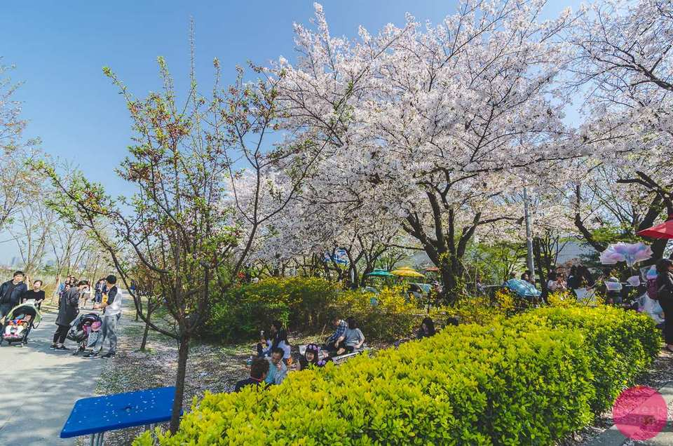 Yeouido Park - The best place to see cherry blossom