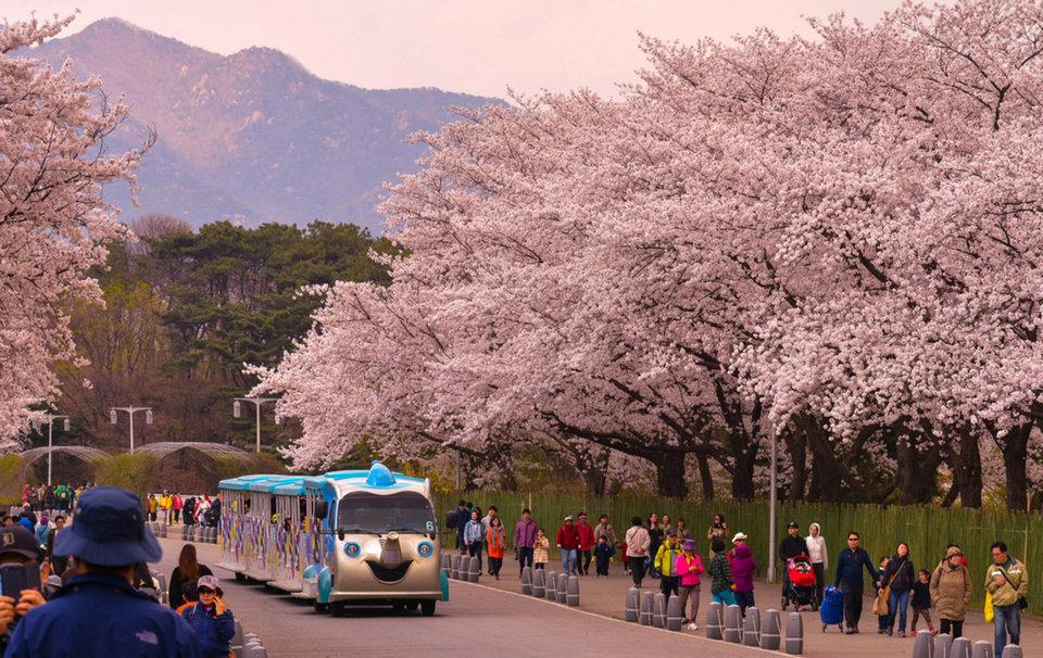 Yeouido Spring Flower Festival, Yeouiseoro Street seoul (1)