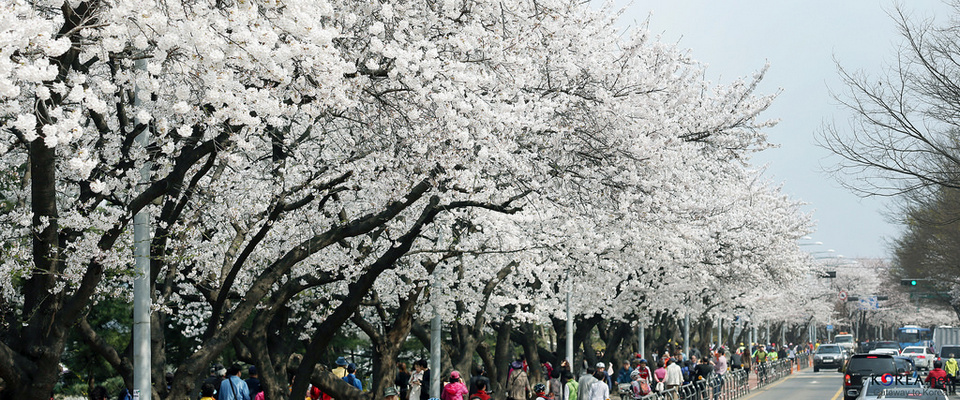 Yeouido Spring Flower Festival cherry blossom in korea 2018 forecast korea cherry blossom 2018 forecast