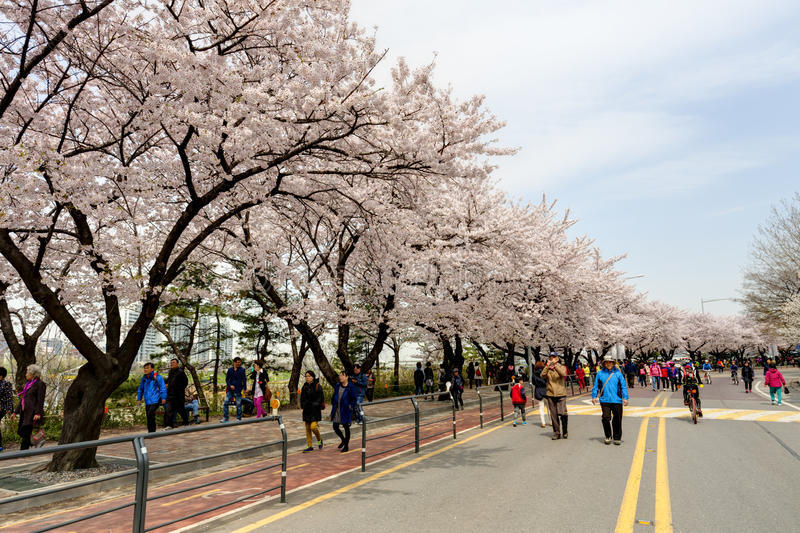 cherry blossom in korea 2018 forecast korea cherry blossom 2018 forecast
