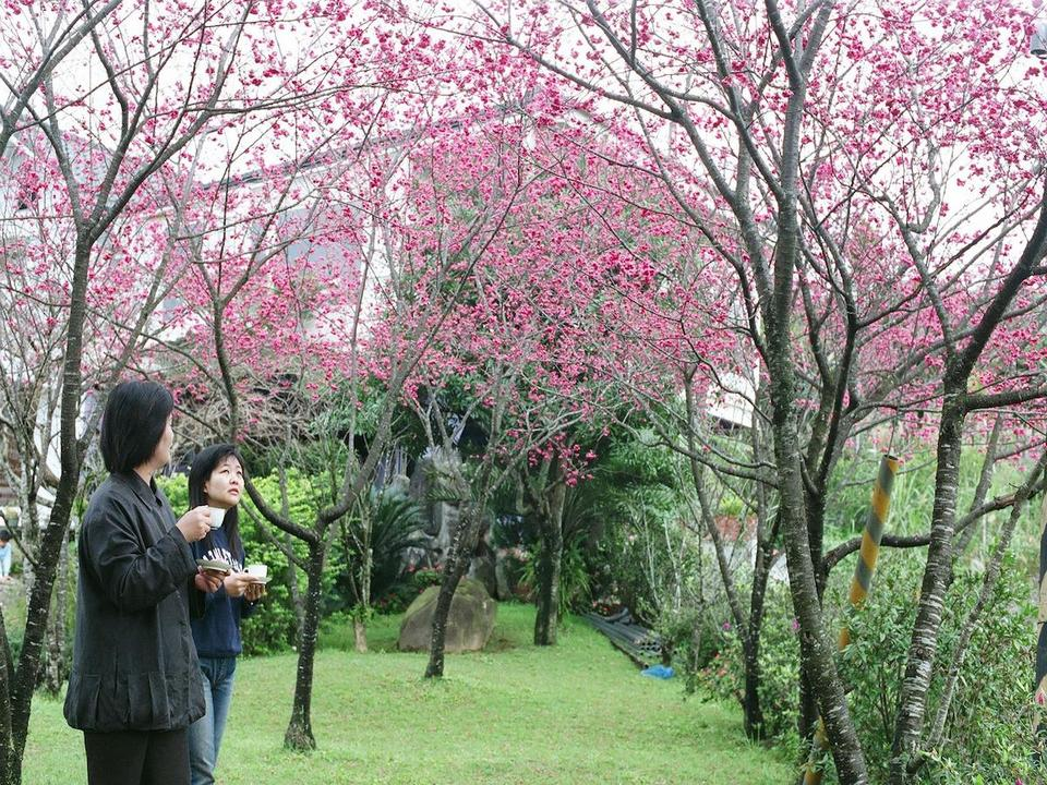 Yilan Mingchi National Forest Recreation Area cherry blossom in taiwan 2018 forecast taiwan cherry blossom blog