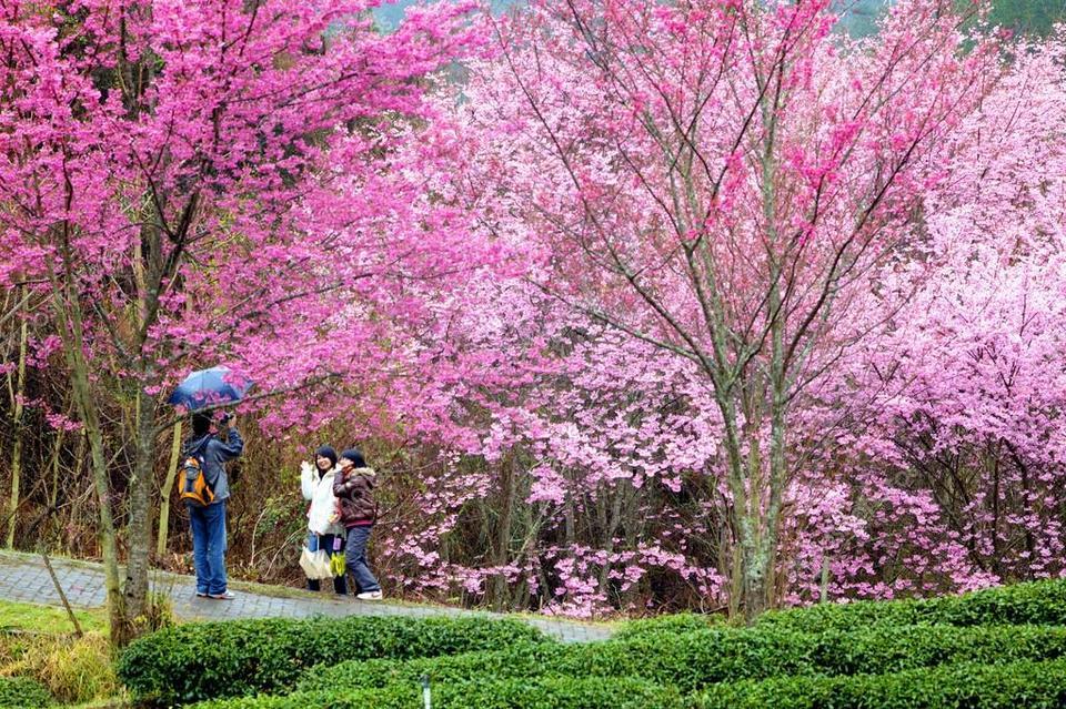 Beautiful sakura garden in Taiwan