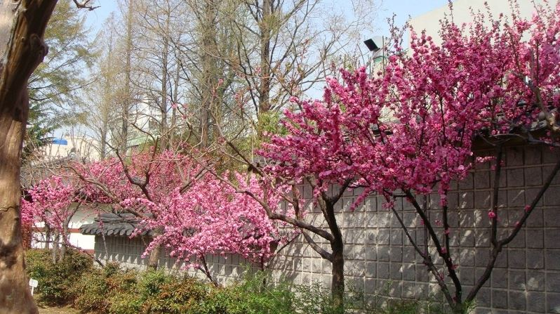 cherry blossom in korea 2019 forecast, korea cherry blossom 2019 forecast, south korea cherry blossom 2019 forecast (1)