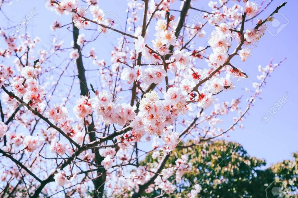 jeju cherry blossom 2019 (1)