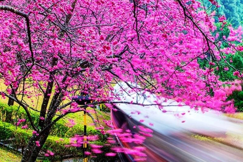 1Cherry blossom in Taiwan 2019 forecast, Taiwan cherry blossom 2019 forecast, Taiwan cherry blossom season 2019 forecast) the dates of cherry blossom season in Taiwan 2019 (1)