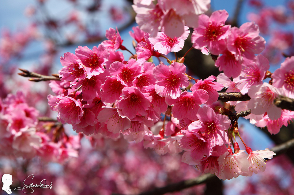 1Pingjing Street, Lane 42 (平菁街42巷) cherry blossoms (1)