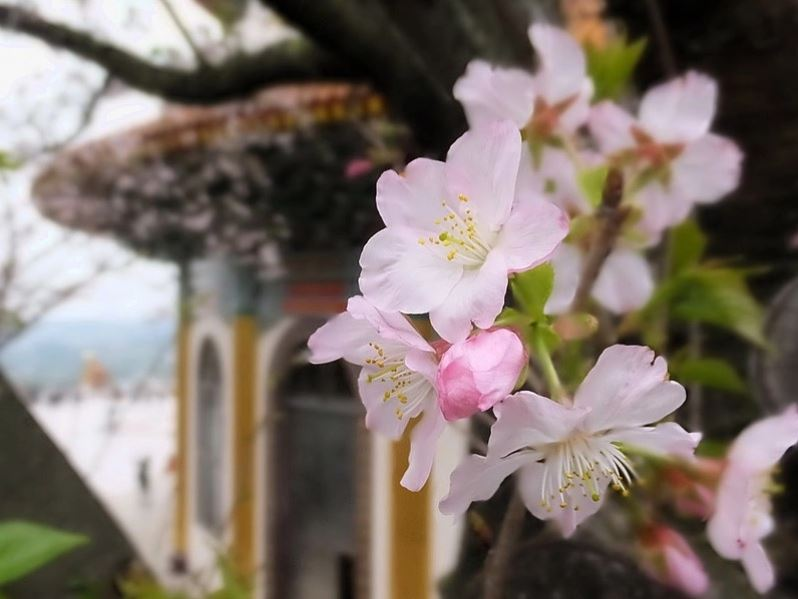 Cherry blossom in Taiwan 2019 forecast, Taiwan cherry blossom 2019 forecast, Taiwan cherry blossom season 2019 forecast) the dates of cherry blossom season in Taiwan 2019 (4)