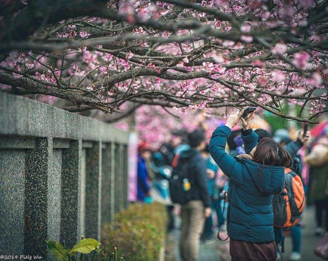 Pingjing Street, Lane 42 (平菁街42巷) cherry blossoms (1)