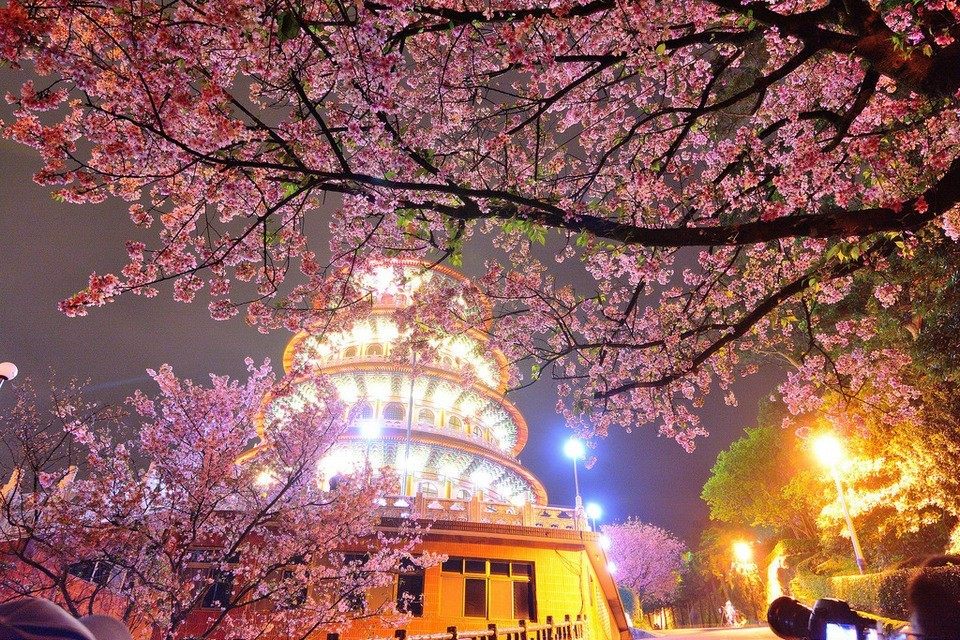 Wuji Tianyuan Temple cherry blossoms (1)