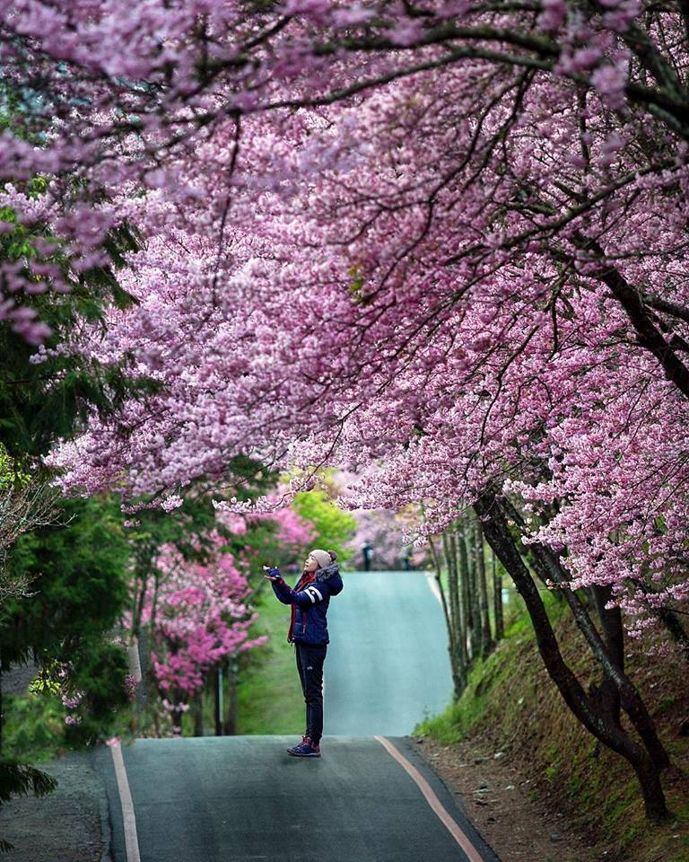 Wuling Farm, Taichung cherry blossoms (1)