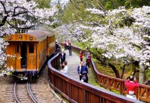 alishan cherry blossoms