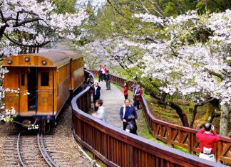 alishan cherry blossoms