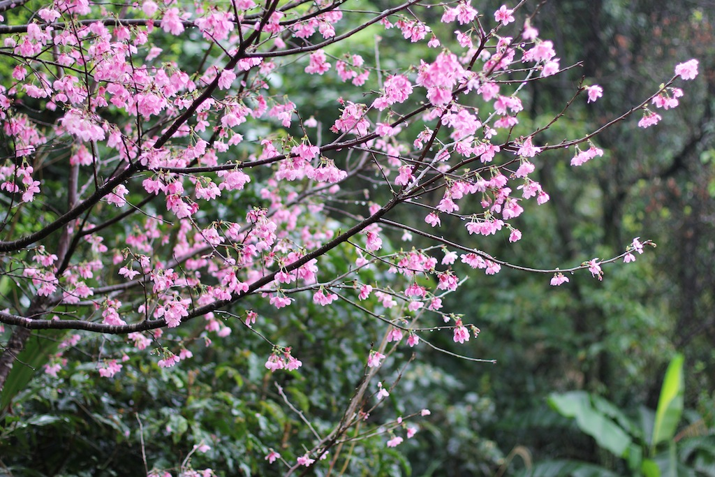 taiwan cherry blossom 2018 forecast blog Image by: cherry blossom in taiwan 2018 forecast blog.