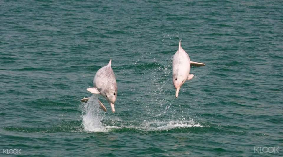 Indo-Pacific Humpback Dolphins