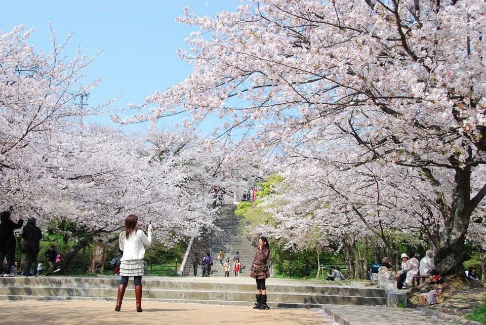 Check-in at Nishi Park in cherry blossoms season
