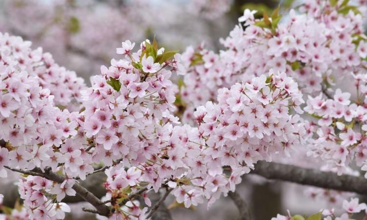 Cherry Blossoms in Aomori