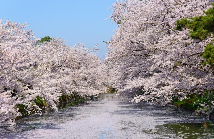 Cherry blossom blooming full in Hirosaki park, Aomori