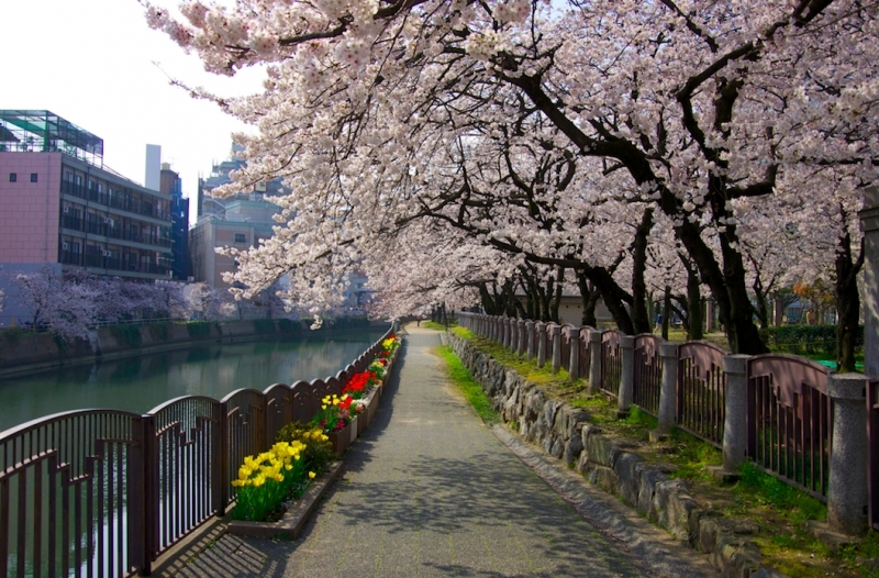Cherry blossoms road beside river