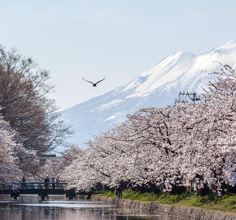Hirosaki Cherry Blossoms Festival