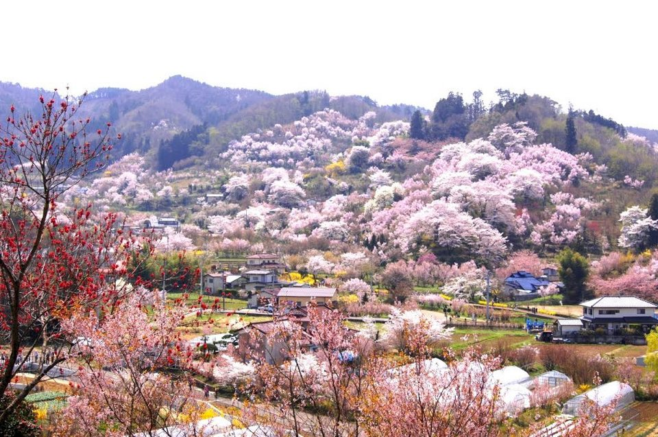 Japanese cherry blossoms (sakura)of Hanmiyama, Fukushima, Japan