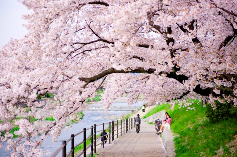 Cherry blossoms season in Kyoto