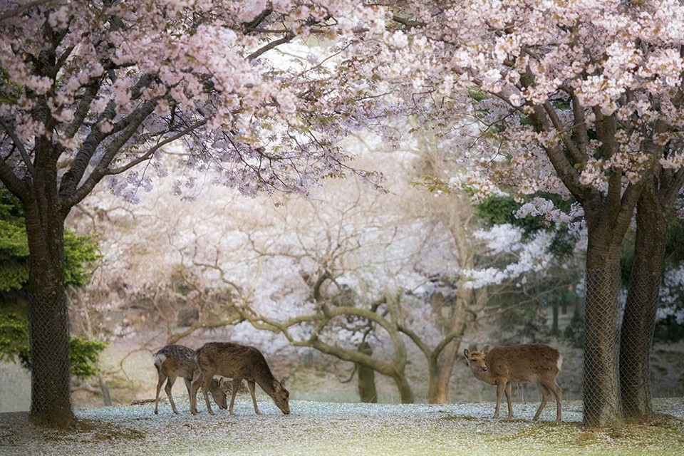 Nara Park in cherry blossoms season