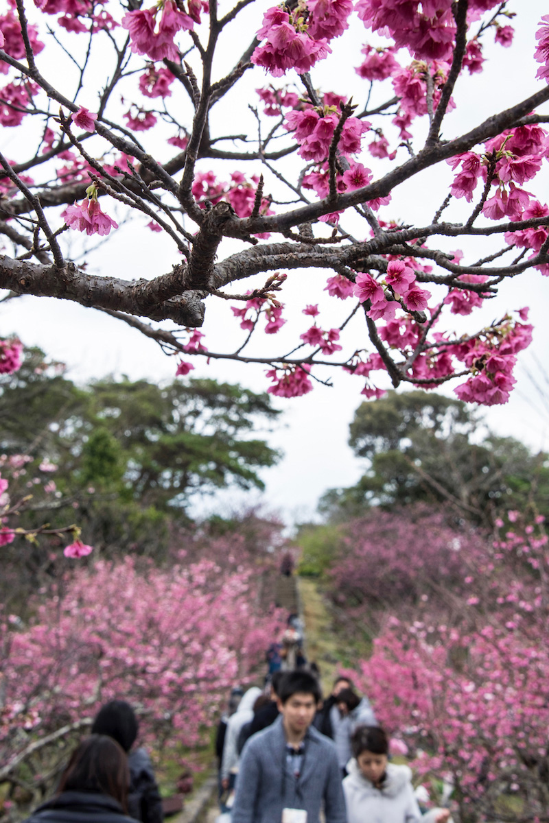 Okinawa-Cherry-Blossoms-1