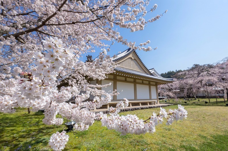 Sakura in Daigo-ji temple