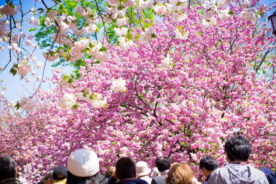 Tourists enjoy the cherry blossom at Osaka Mint Bureau