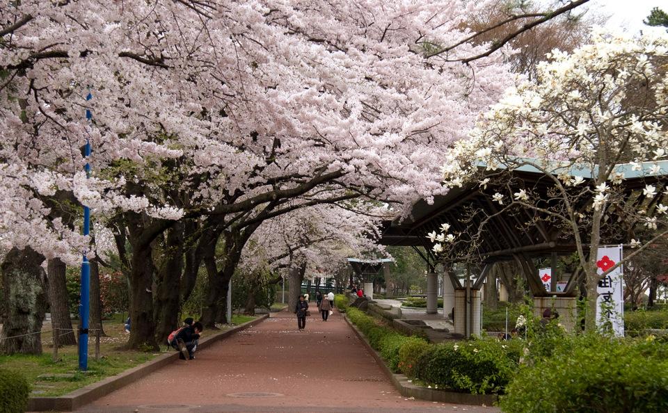 Tsutsujigaoka_Park_in_the_cherry_blossom_season
