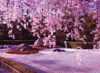 Cherry blossoms in Ryōan-ji Temple.