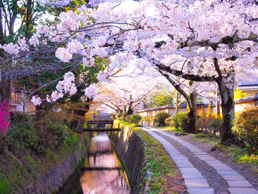 kyoto-cherry-blossom japan dates 2018