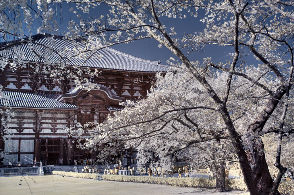 nara cherry blossoms