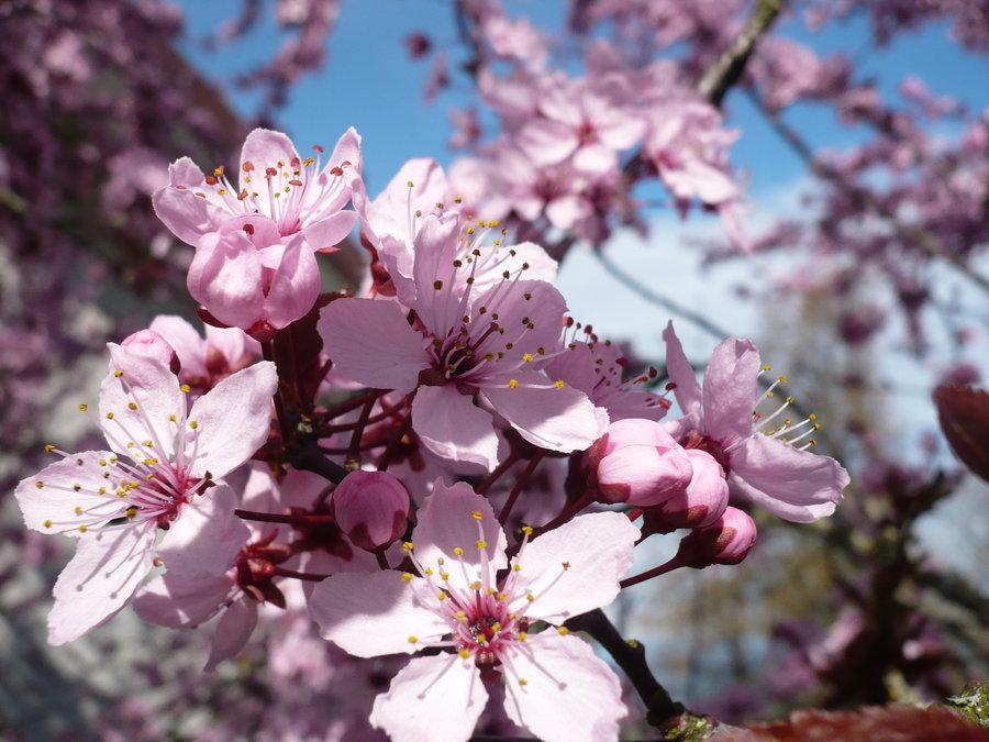 Spring blossoms sakura in Fukushima