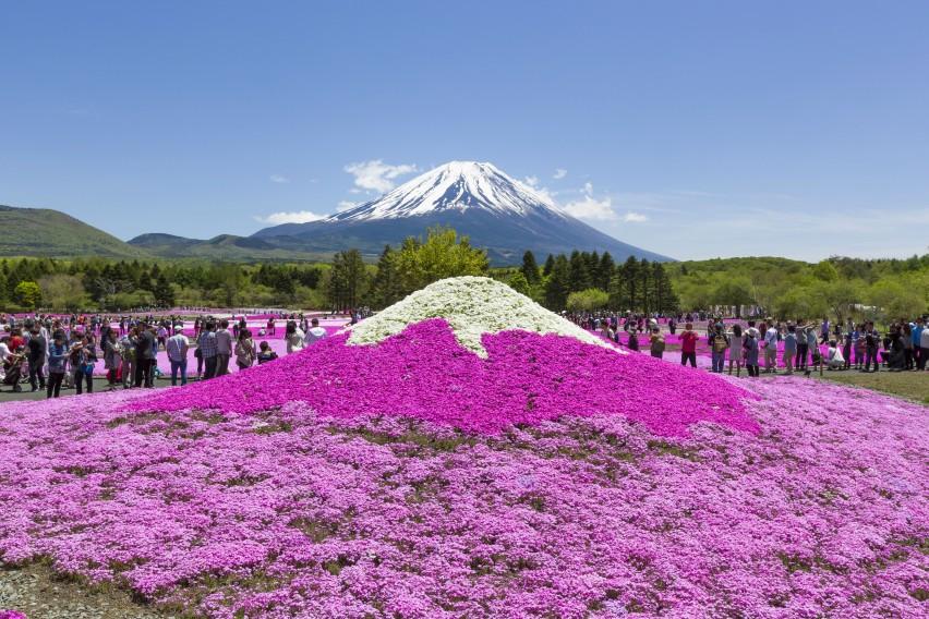 Fuji Shibazakura Cherry Blossom Festival-