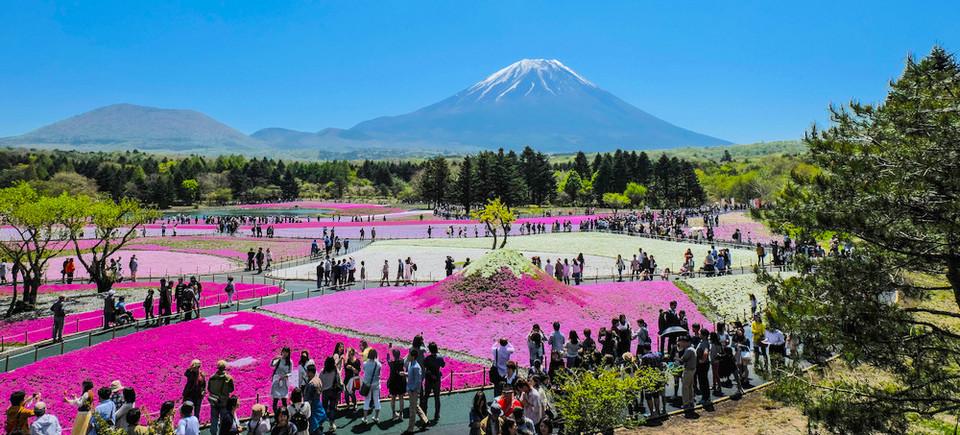 Fuji Shibazakura Cherry Blossom Festival-fuji-japan2