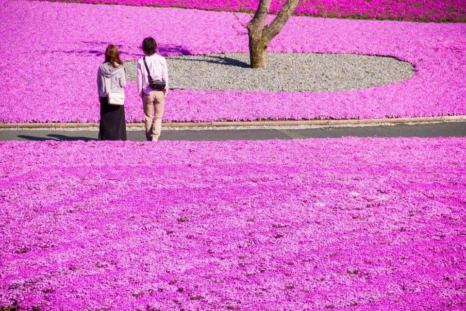 Fuji Shibazakura Cherry Blossom Festival-fuji-japan4