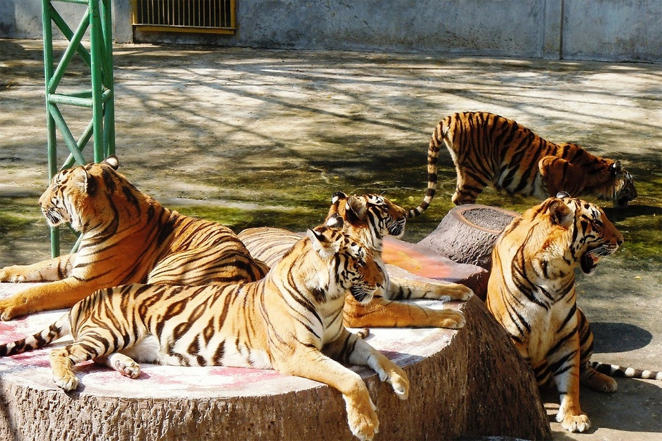 Sriracha Tiger Zoo - lord of forest-thailand1