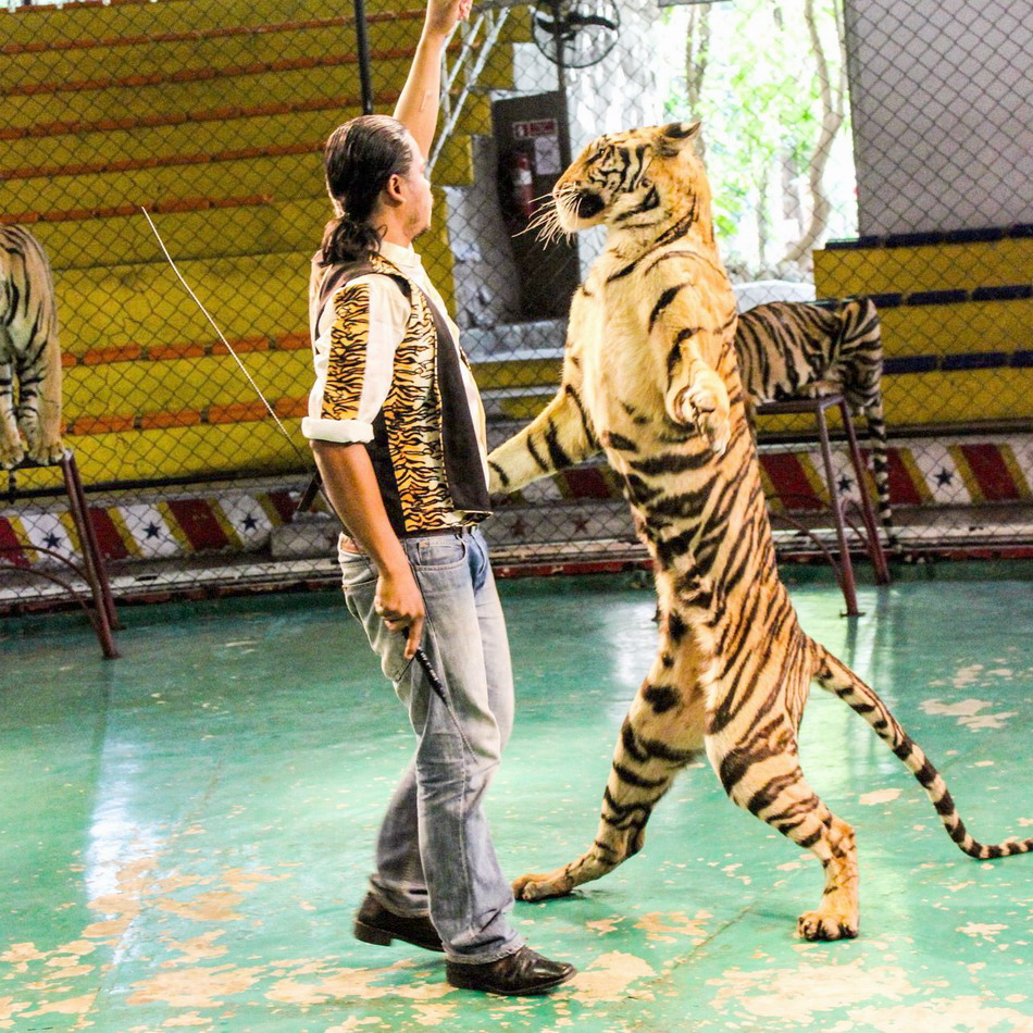 Sriracha Tiger Zoo - lord of forest-thailand25