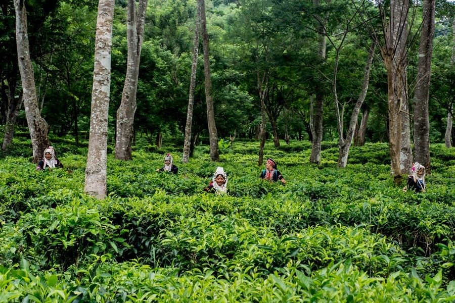 Araksa Tea Garden Tour and Tasting